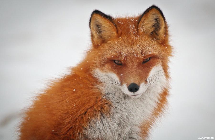 монтаж картинка лисы прорабы вспомнить где прочитал
