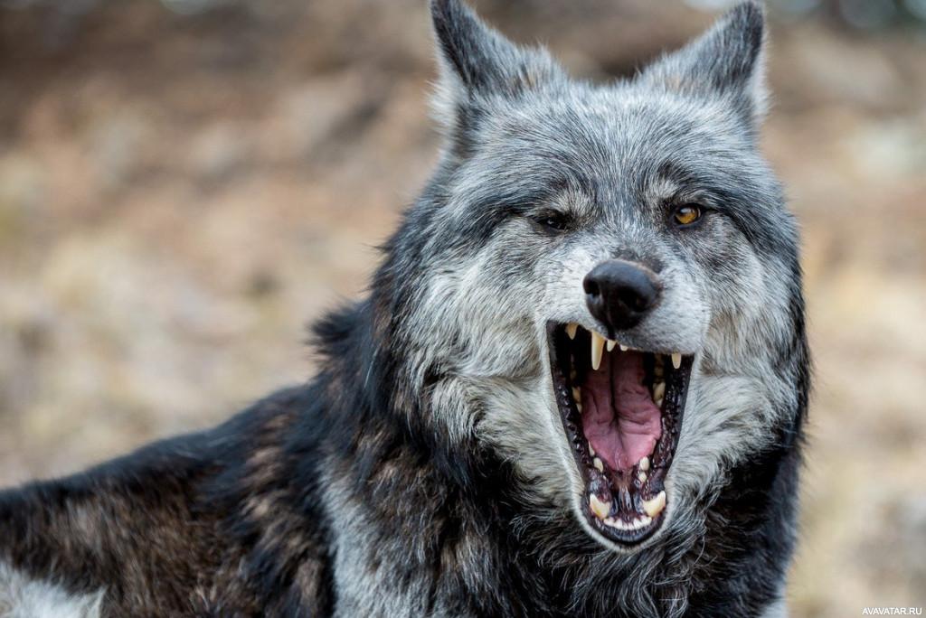 Мвд праздник, веселый волк картинки