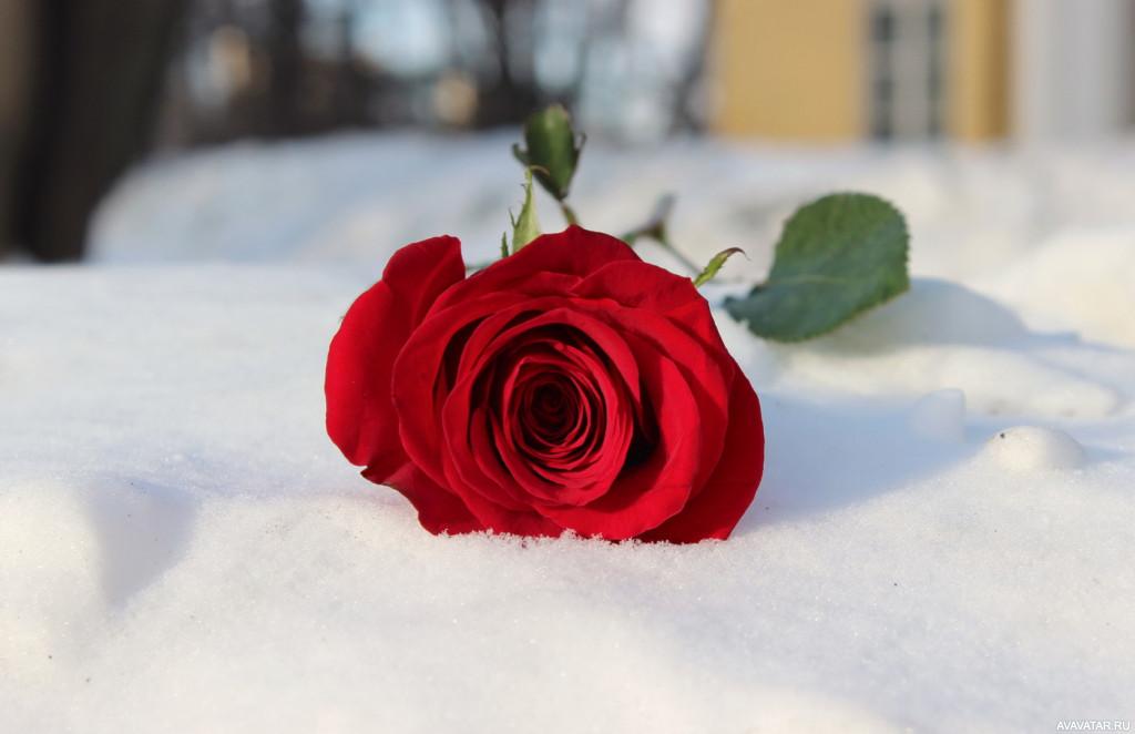 Картинки красные цветы на снегу, для поз