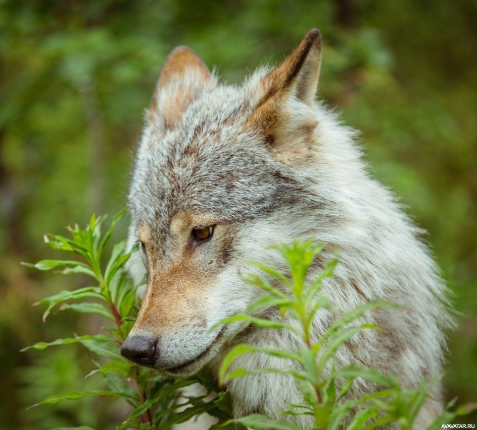 можно волк нюхает цветы фото бордюры гравия каменной