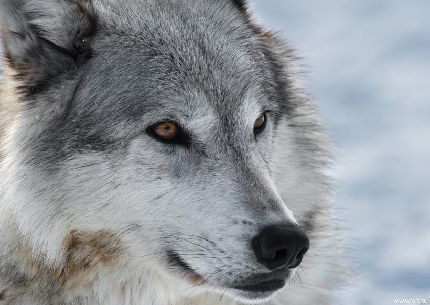 Скинуть фотографию волка