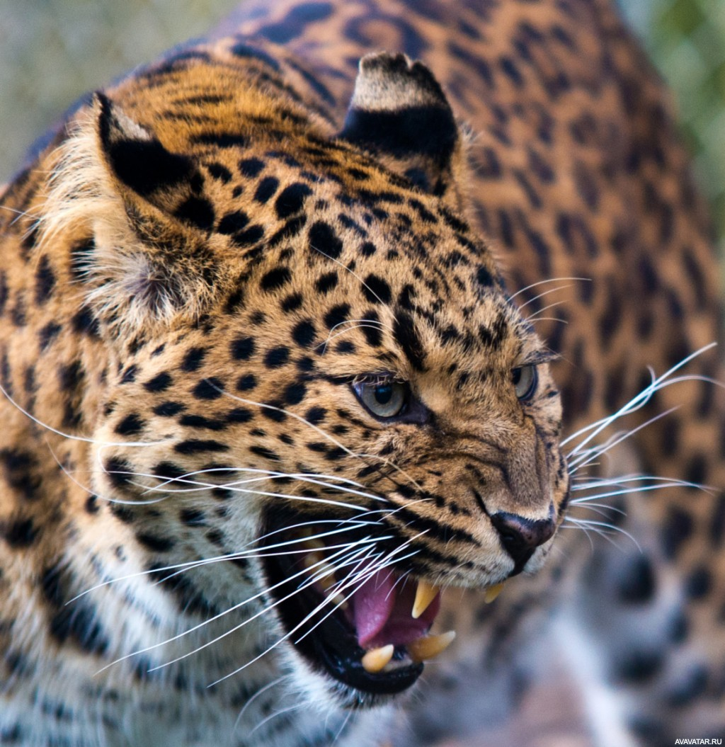 оскал леопарда фото службу