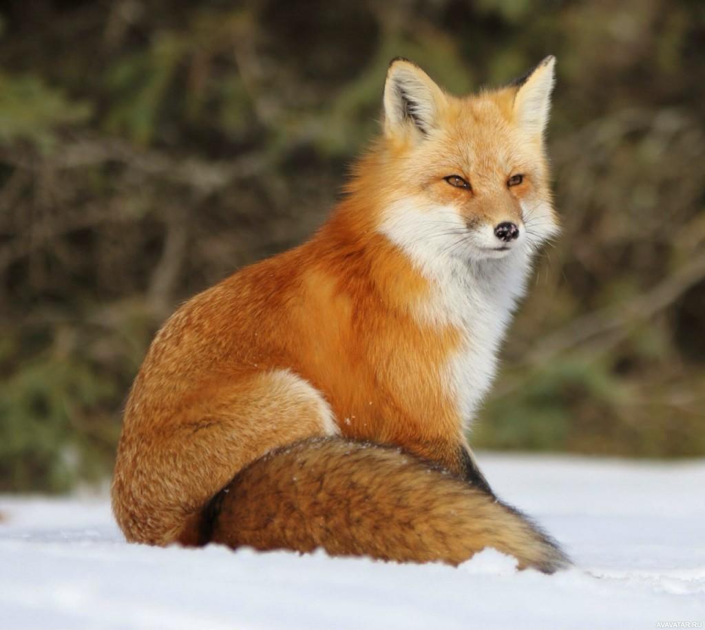 Смотреть картинки про лису создали сорт