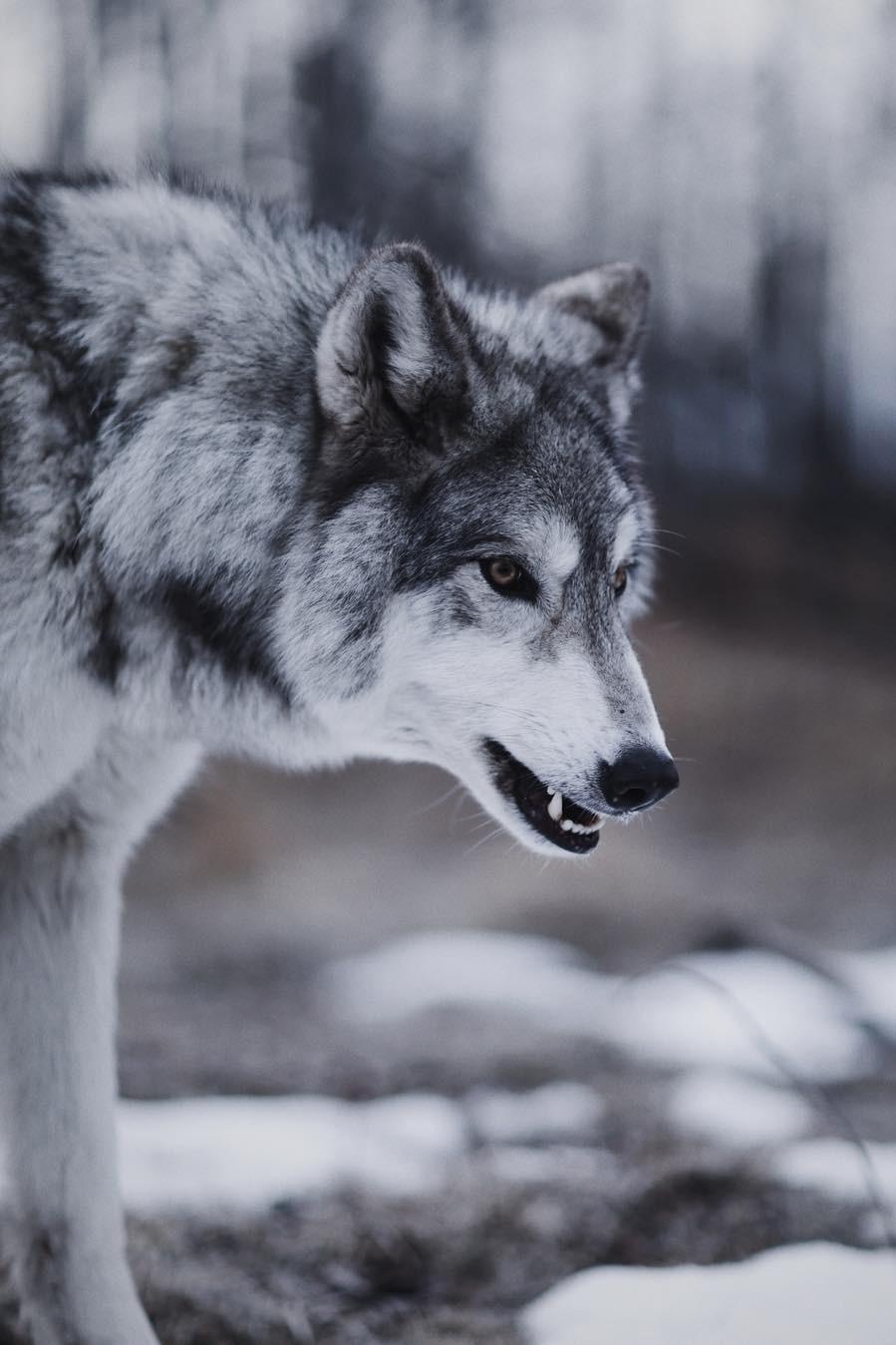 Фотки на аву волки