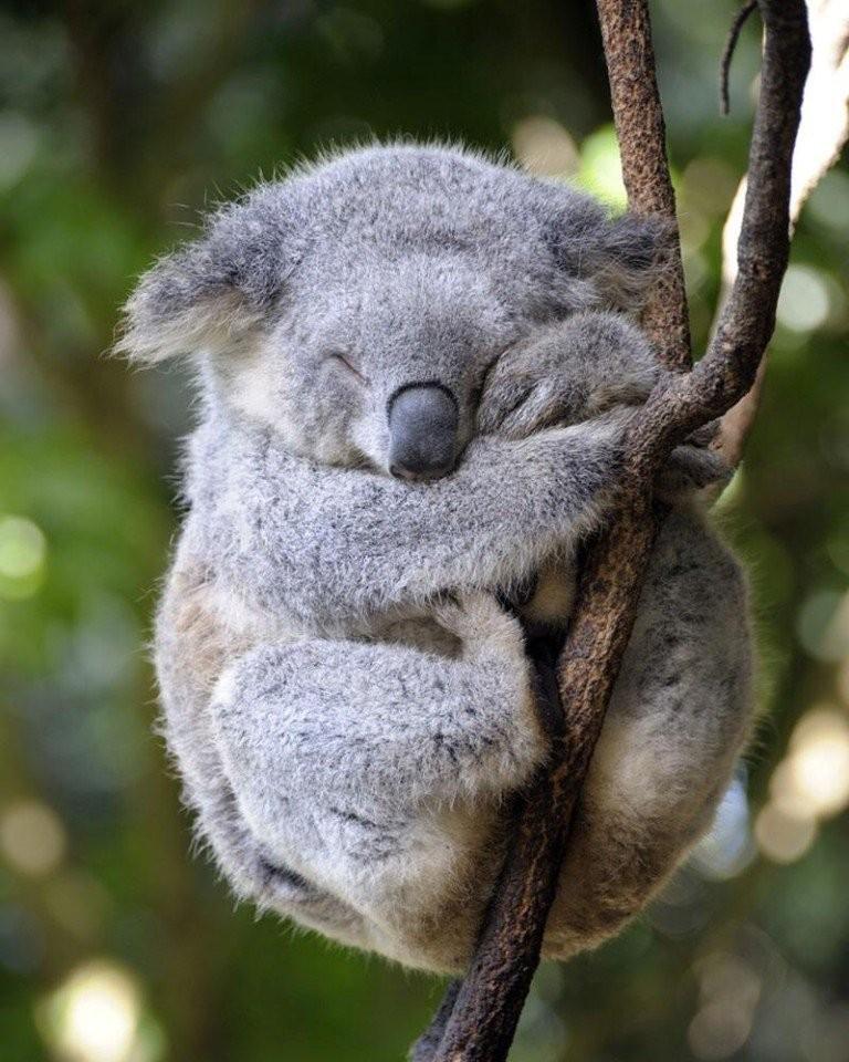 смешные коалы фото интересно, какие